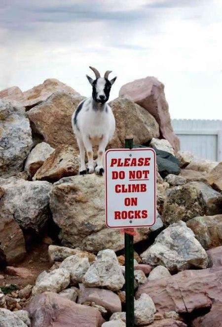 60-illiterate-goat