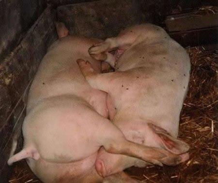 67-pig-692