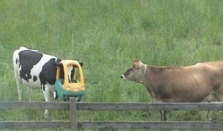 91-cows-are-stupid