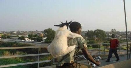 83 Goat Pack